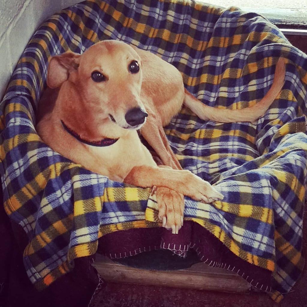 Yarmouth Greyhound Homefinders - Barry