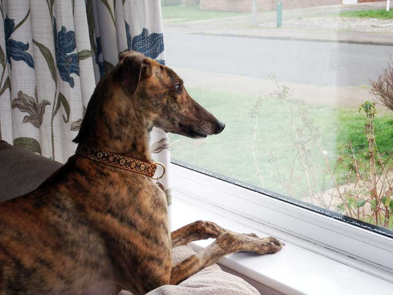Patsy the greyhound waiting for the postman